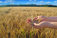 Hands with a grain in the wheat field Royalty Free Stock Photo