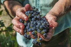 Hands with grapes Royalty Free Stock Images