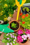 Hands in green gloves plant flowers in pot Royalty Free Stock Photos