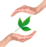 Hands with green leaf. Over white background Stock Image