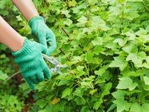 Hands with green pruner in the garden. Stock Images