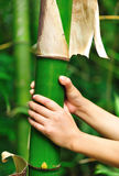Hands grip bamboo tree Royalty Free Stock Image
