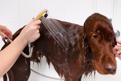 Hands of groomer washing dog. From the shower at salon royalty free stock photos