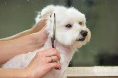 Hands of groomer, white maltese. Hands of groomer white maltese. Dog grooming scissors Stock Image