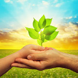 Hands with growing plant at sunset. Stock Image