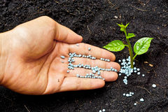 Hands growing a tree. A hand giving fertilizer to a young plant royalty free stock photos