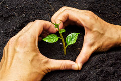 Hands growing a tree. Two hands forming a heart shape around a young plant / growing tree / save the world royalty free stock photo