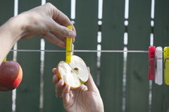 Hands hanging apple on rope. With clamps Royalty Free Stock Photo