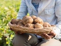 Hands harvesting fresh organic potato. Stock Photos