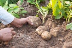 Hands harvesting fresh organic potatoes Royalty Free Stock Image