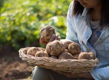 Hands harvesting fresh organic potatoes Royalty Free Stock Images