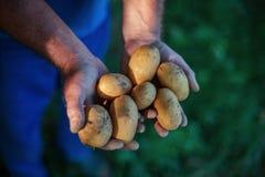 Hands harvesting fresh organic potatoes from soil Stock Photo