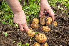 Hands harvesting fresh potatoes from soil Royalty Free Stock Image