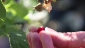 Hands harvesting a ripe raspberry in a garden stock video