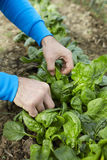 Hands harvesting spinach Royalty Free Stock Image
