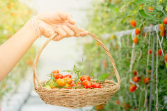 Hands hold bamboo basket with tomatoes in agricultural garden Royalty Free Stock Image