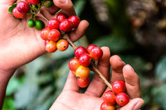 Hands hold branch of ripening coffee beans Stock Photo
