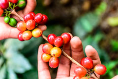 Hands hold branch of ripening coffee beans. Antigua, Guatemala, Central America Royalty Free Stock Photos