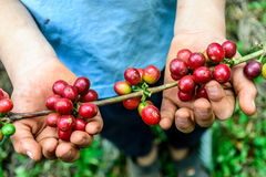 Hands hold branch of ripening coffee beans Royalty Free Stock Images