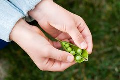 Hands hold cracked pea pod. Child hands hold one pea pod and cracking it in backyard in own garden stock photo