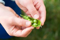 Hands hold cracked pea pod Royalty Free Stock Image