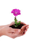 Hands hold flower Royalty Free Stock Photo