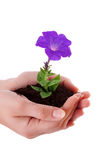 hands hold  flower Royalty Free Stock Photos
