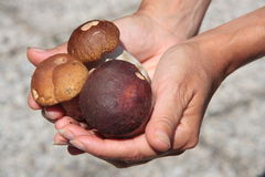 Hands hold fresh Porcini. Mushrooms Royalty Free Stock Images