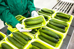 Hands hold green cucumbers stock photo