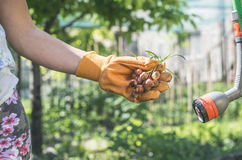 Hands hold plant bulbs in a garden Stock Photos