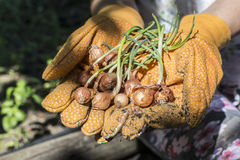 Hands hold plant bulbs in a garden Royalty Free Stock Photo