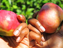 Hands holding Apples Royalty Free Stock Photo