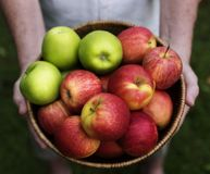 Hands holding apples organic produce from farm Royalty Free Stock Image