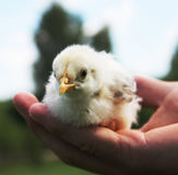 Hands Holding a Baby Chick Stock Images