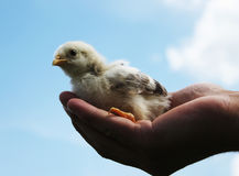 Hands Holding a Baby Chick. Hand hold caring for a small chicken Stock Photography