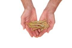 Hands holding barley Stock Image