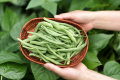 Hands holding basket of freshly harvested green beans Stock Photos