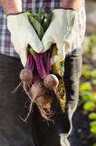 Hands holding beetroots in garden Royalty Free Stock Photos