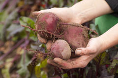 Hands holding beets Stock Photo
