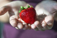 Hands holding a big specimen of strawberry of sixty grams Stock Photo