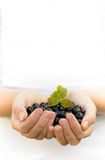 Hands holding blueberries Stock Image