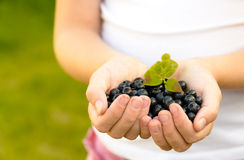 Hands holding blueberries Royalty Free Stock Photos