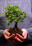 Hands holding a Bonsai tree Stock Images