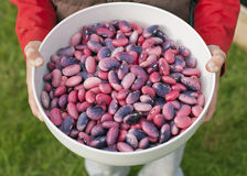 Hands holding a bowl full of runner beans Royalty Free Stock Images
