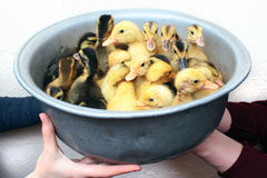 Hands holding a bowl with little ducklings Royalty Free Stock Image