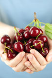 Hands holding bunch of cherries Royalty Free Stock Photo