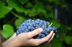 Hands holding a bunch of grapes. Hands gently holding a bunch of grapes Stock Images
