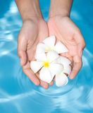 Hands holding a bunch of white frangipani Royalty Free Stock Photo