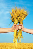Hands holding bundle of the golden wheat ears. Human and woman hands holding bundle of the golden wheat ears on a blue sky background Royalty Free Stock Photo