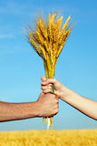 Hands holding bundle of the golden wheat ears. Human and woman hands holding bundle of the golden wheat ears on a blue sky background Royalty Free Stock Images